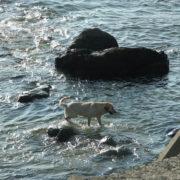 海で戯れるラブラドールレトリバー