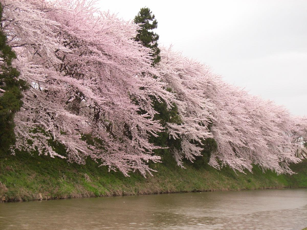 霞城公園の桜 2008年