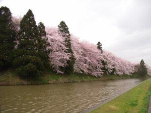霞城公園の桜[2008年]公園西側のお堀