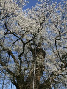 エドヒガンを見上げる:お達磨の桜 -2009年-