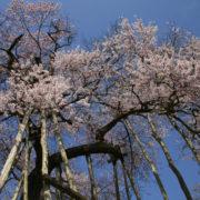国指定の天然記念物:長井市、伊佐沢の久保桜 -2009年4月18日-