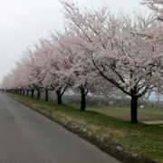 寒河江川の堤防沿いの桜並木 - 2011年5月