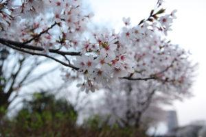 霞城公園の桜-2016年