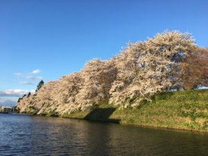 お堀の西側の桜を南から北へ向かって:霞城公園の桜 2017年