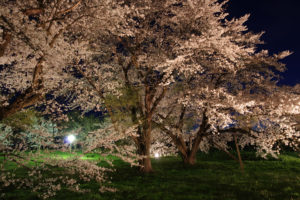 お達磨の桜-夜桜 2017年(その1)