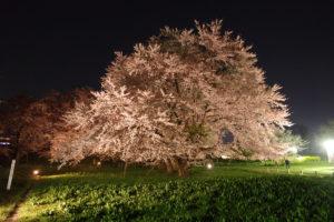 ソメイヨシノの巨木:お達磨の桜 - 2019年