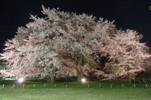 公園中央のソメイヨシノを南側から:お達磨の桜 - 2019年